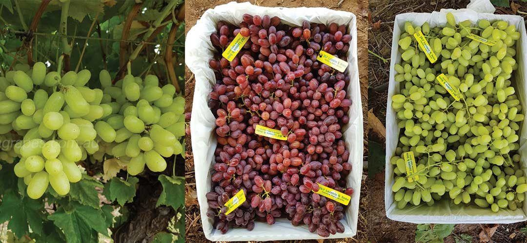 2018 Australian Table Grape Harvest